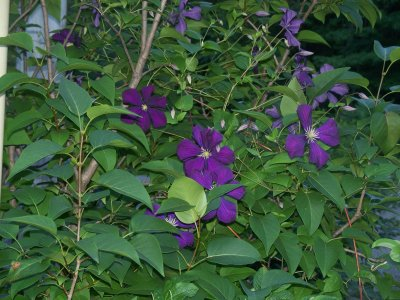 etoile violette clematis lots and lots of purple flowers. Black Bedroom Furniture Sets. Home Design Ideas