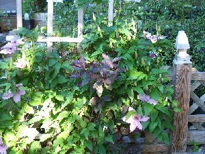 clematis and shrubs